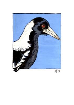 magpie-australian